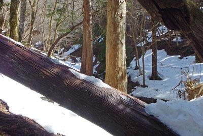京都・雲取山の主峰直下の支流谷分岐部の倒木