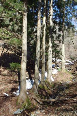 京都・雲取山三ノ谷支流傍で発見した人為的杉の並木と古道跡らしき痕跡