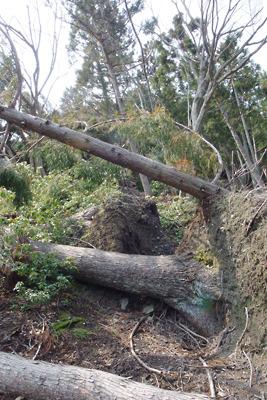 滋賀県西北・赤岩山登山道の地面毎直角に倒れる倒木