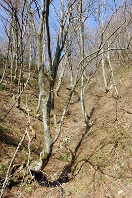 岐阜県北部・能郷白山麓の林道脇のブナの天然林