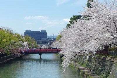 京都岡崎の琵琶湖疏水の桜と神宮道の赤い橋