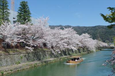 京都岡崎の琵琶湖疏水の桜と十石舟