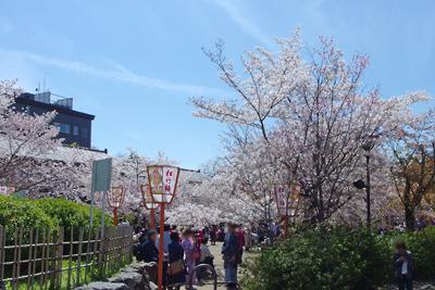 京都・円山公園の桜