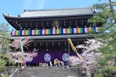 京都・知恩院三門前の桜