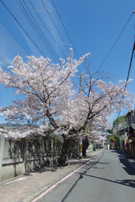 京都・粟田の桜