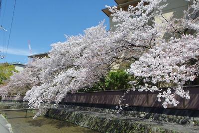 京都・白川畔の桜
