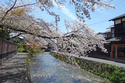京都・白川畔の桜と光る川面