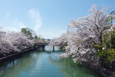 京都・聖護院地区の琵琶湖疏水の桜と熊野橋