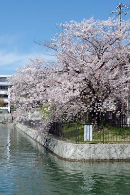 京都・琵琶湖疏水の夷川ダム舟溜まりの桜