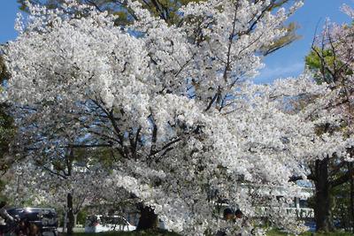 ほぼ満開の京都・賀茂川(鴨川)河畔の桜