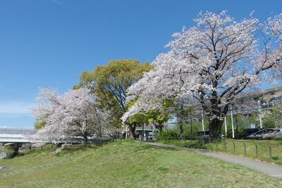京都・賀茂川(鴨川)荒神橋付近の桜