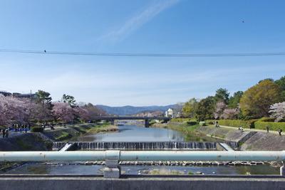 桜がかなり散った、京都賀茂川(鴨川)・出町柳の桜