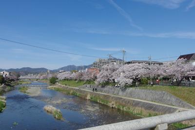 京都・出町柳付近の高野川の桜