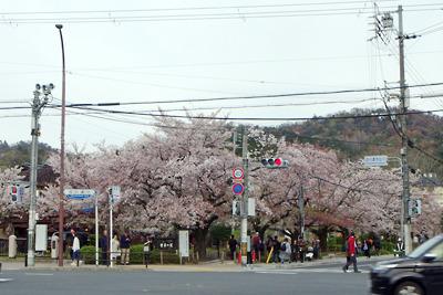 散り始める、京都・銀閣寺道の桜