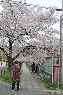 京都・銀閣寺道近くの琵琶湖疏水分線の満開の桜