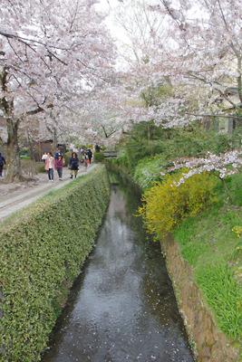 京都・哲学の道の桜と緑の下草