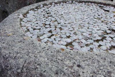 白川石の手水鉢に浮かぶ桜の花弁