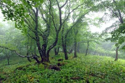 御池岳山頂直下の植生豊な「雨の森」