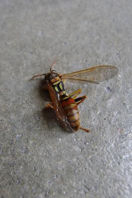 猛暑日に西日とエアコンの排熱を浴び異変が起きた蜂の巣の下に落ちていたヤマトアシナガバチの死骸