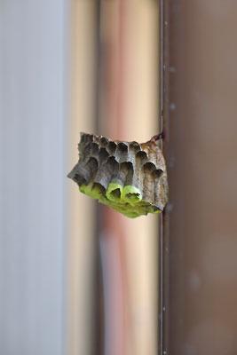 38度超の猛暑日にウィンドエアコンの排熱と西日の挟撃を受け蜂がいなくなった、京都の町家窓柵にあるヤマトアシナガバチの巣