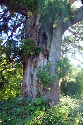 立山高原バスの車窓から見た、ブナ平にある立山杉の巨木「仙洞杉」