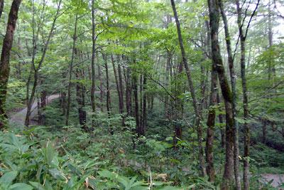 その標高の高さにもかかわらず、意外に濃密な植生を見せる右俣林道沿いの森