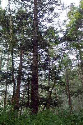 針葉樹が多い高地的植生を見せる右俣林道上部の森