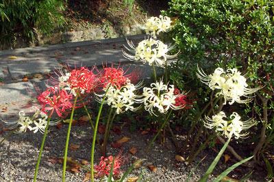 京都市左京区東山山麓にて10月1日に撮影した、めでたい紅白の曼珠沙華(彼岸花)
