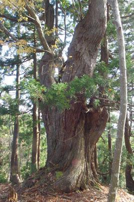 佐々里峠南側の尾根筋に現れた台杉の巨木