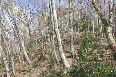 ダンノ峠から品谷山に続く稜線上に現れたブナの林