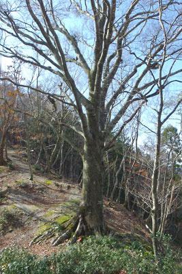 品谷山山頂近くの稜線上にある幹が捻じれた落葉樹の大木