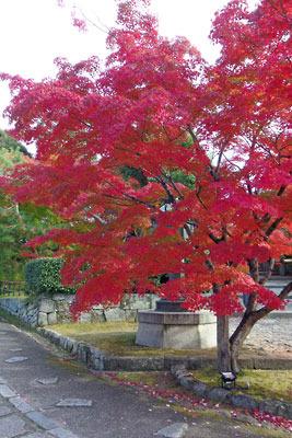 境内一の色づきかと思われた、真如堂本堂前・石段下の楓紅葉