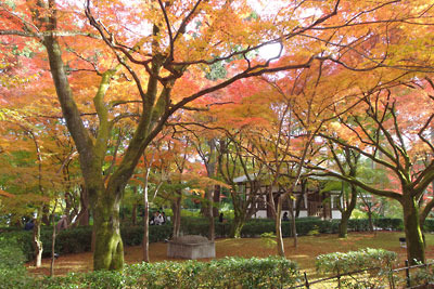 真如堂本堂裏境内の楓紅葉の林