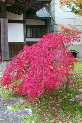 永観堂図書館前にあった鮮やかな紅葉小樹(ベニシダレ?)