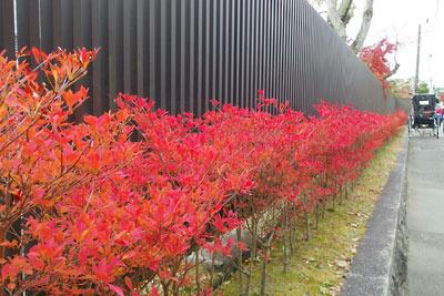 東山高校の塀脇の犬走に続くドウダンツツジの紅葉と人力車
