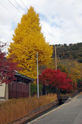 東山高校の銀杏黄葉や楓紅葉