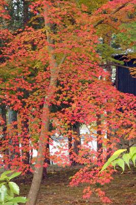 南禅寺境内の紅葉の楓葉