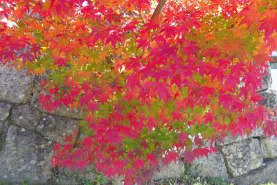 京都岡崎黒谷の金戒光明寺の楓紅葉