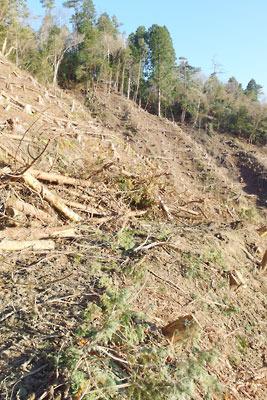 安祥寺山西側伐採地の作業道分線上に集められた伐採木の枝葉