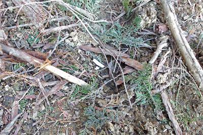 安祥寺山西側の伐採地の柴山に棄てられていたタバコの吸い殻