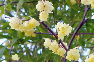 京都市街東部の街なかに咲いた蝋梅の花。2020年2月1日撮影