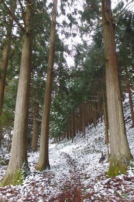 雲取峠下の急な下りを経て現れた、植林地内に続く緩やかな道
