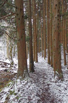 京都・雲取山の一ノ谷にある、並木状の大木に擁護された道