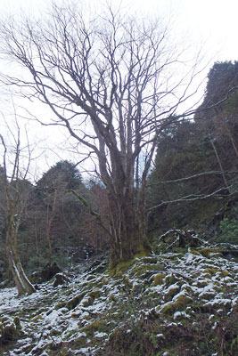 京都・雲取山の三ノ谷分岐付近の斜面にあった桂の木らしき大木