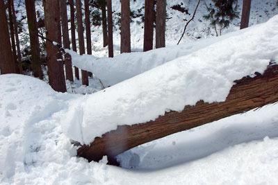 芹生三ノ谷から山頂下の支流谷に入る道を塞ぐ倒木とその上に載る深雪