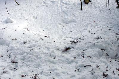 雪に埋もれた芹生三ノ谷支流沢の炭焼窯遺構