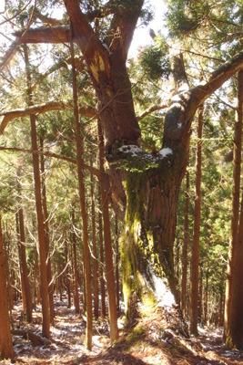 境界木らしき雲取山南尾根上の大木