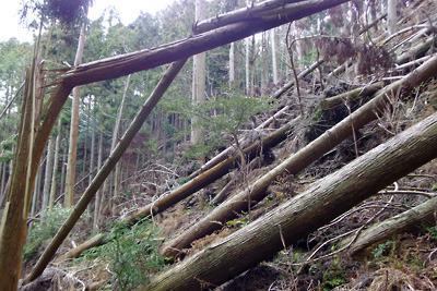 推定如意古道上に覆いかぶさる凄まじい台風倒木