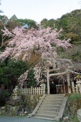 夕陽を受ける京都・大豊神社の枝垂桜。2020年3月23日撮影