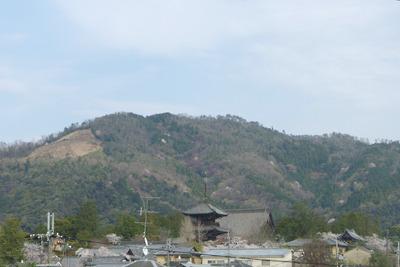 京都・真如堂の桜や大文字山山腹まで広がる桜前線